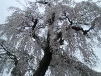 区民会館前の白山のしだれ桜2(24.4.26)