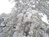 大久保のしだれ桜を見上げる(24.4.27)