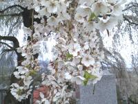 大久保のしだれ桜の状況(24.4.27)