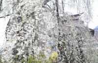 隆谷寺のしだれ桜のカーテン(24.4.27)