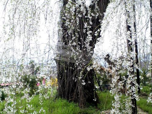 隆谷寺のしだれ桜(樹齢約400年)(24.4.27)
