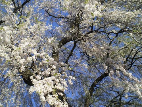 区民会館前の白山のしだれ桜2(24.4.28)