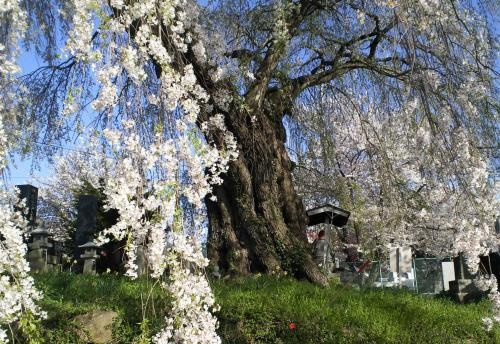 区民会館前の白山のしだれ桜(24.4.28)