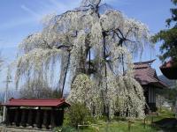 隆谷寺のしだれ桜(樹齢約400年)今日の状況(24.4.29)