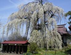 桜の隆谷寺(24.4.25)