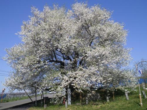 満開の千歳桜(樹齢887年)の状況(24.4.29)