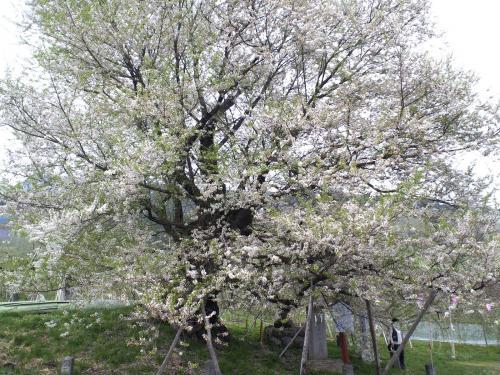 宇木のエドヒガン千歳桜の状況(24.4.30)