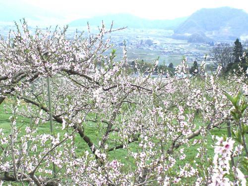 宇木の満開のモモ畑(24.4.30)