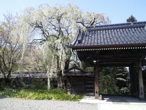 山門横の揺厳しだれ桜(24.5.1)