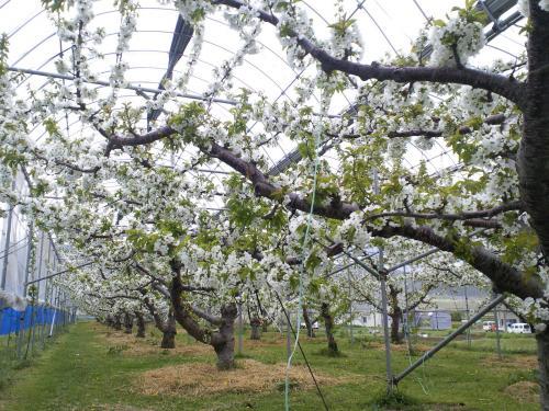 さくらんぼの花が満開(24.5.2)