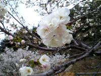 五色桜八重桜(24.5.2)