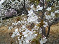 五色桜一重桜(24.5.2)