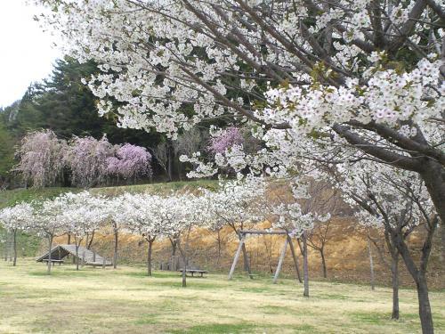 どんぐりの森公園五色桜全景(24.5.2)
