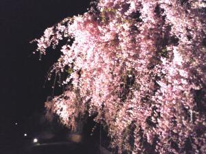 赤いしだれ桜ライトアップ(24.5.2)