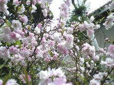 うちの庭の小さな山桜(24.5.4)