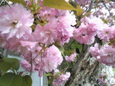 うちの前の八重桜アップ(24.5.4)