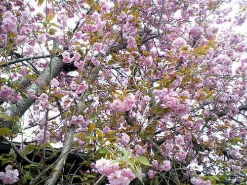 うちの前の八重桜(24.5.4)