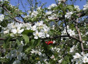 リンゴの花ほころび・・・(24.5.5)