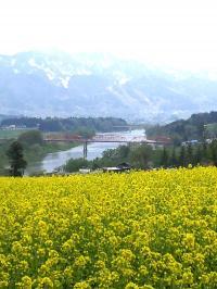 菜の花と千曲川と残雪の山々(24.5.6)