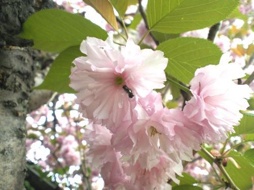 うちの八重桜(24.5.8)