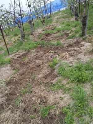 イノシシに荒らされたリンゴ畑(24.5.9)