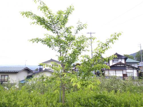 千歳桜の子孫(24.5.15)