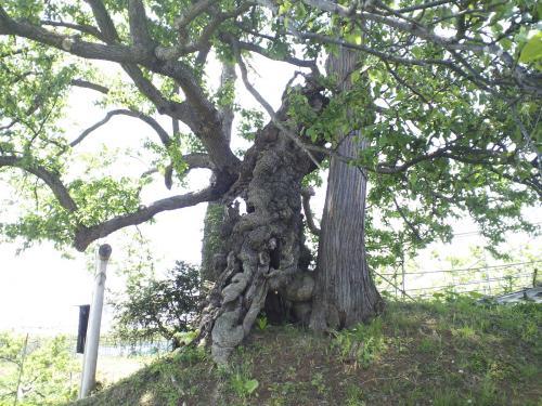 熊野宮のナシの木(24.5.30)