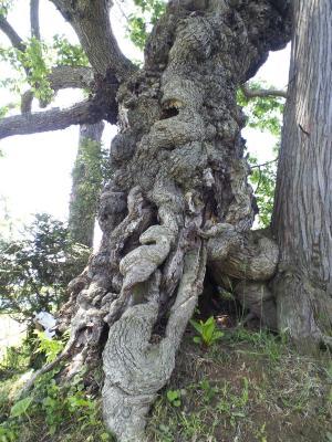 熊野宮のナシノ木の幹(24.5.30)