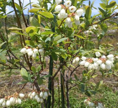 5月23日のブルーベリーの花満開(24.7.6)