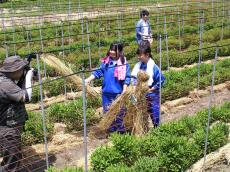 リンドウ畑でワラ敷き(24.5.23)