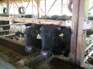 かわいい牛たち(24.5.24)