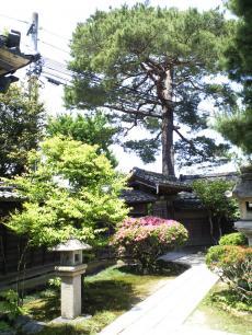 庭の松(24.6.2)
