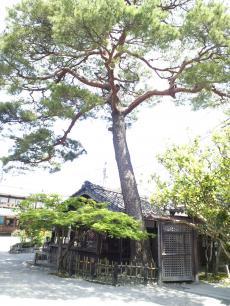 売店と赤松(24.6.2)