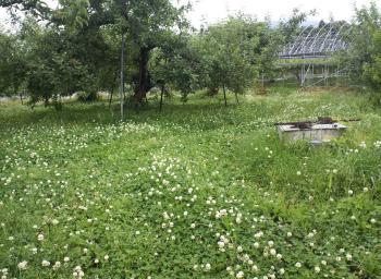 草刈り前のリンゴ畑(24.6.19)