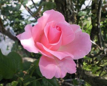 うちの庭のバラ(24.6.20)