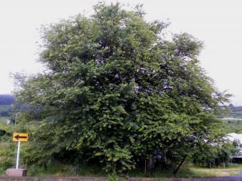 雨の宇木のエドヒガン千歳桜(24.7.1)