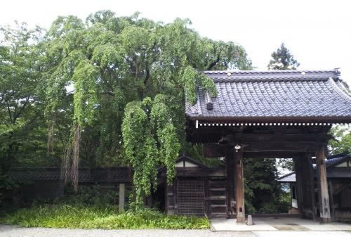 谷厳寺のしだれ桜(24.7.2)