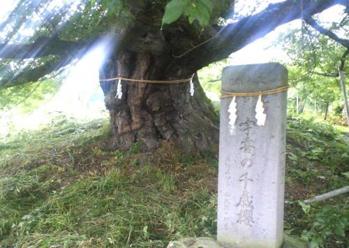 草刈り後の千歳桜(24.7.3)