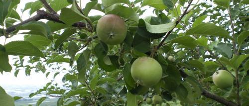 大きくなってきたリンゴ(24.7.5)