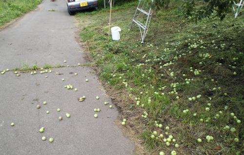 摘果されたリンゴころりん(24.7.5)