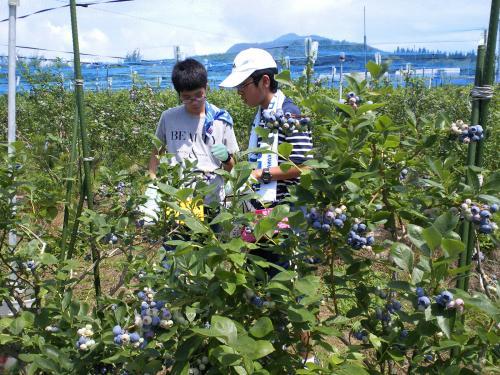 ブルーベリー収穫体験(24.7.18)