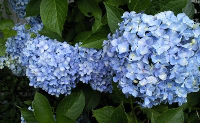 紫陽花の花(24.7.22)