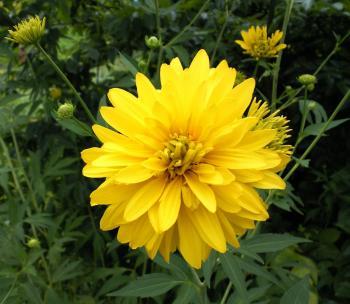 黄色のダリア(24.7.22)