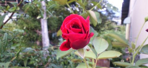 庭の真っ赤なバラ(24.9.5)