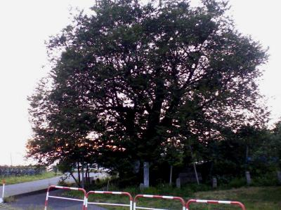 千歳桜シルエット(24.9.5)