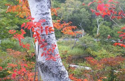 白樺と紅葉(24.9.30)