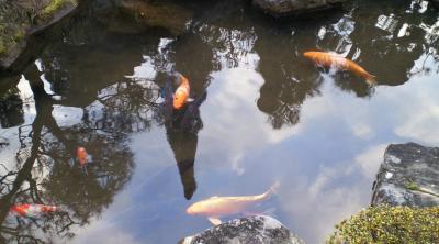 我が家の池のコイ(24.10.3)