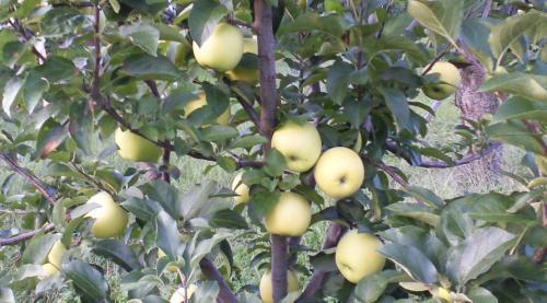 シナノゴールドの木(24.10.5)