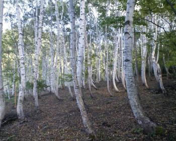根曲がりの白樺林(24.10.8)