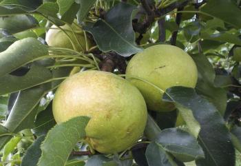 珍種リンゴナシ(24.10.12)